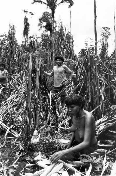 Heweyehie e Heweyerä colhendo milho da roça de IwãMayä para um cauim doce coletivo. Foto: Eduardo Viveiros de Castro, 1982.