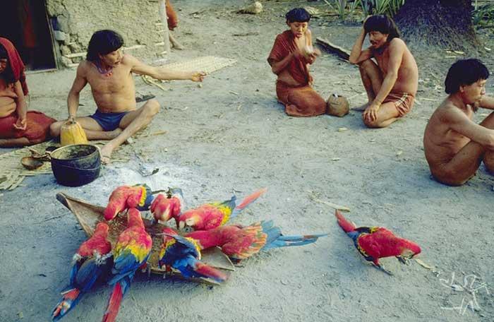 Araras domesticadas são presença constante na aldeia. Foto: Eduardo Viveiros de Castro, 1982.