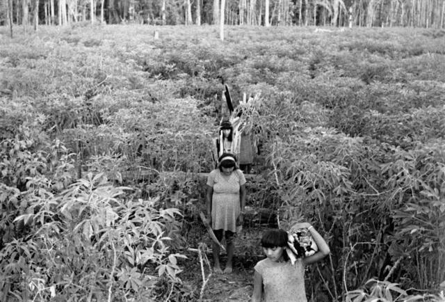 Mulheres Gavião e Zoró, carregando lenha, atravessando uma roça de macaxeira. Terra Indígena Igarapé Lourdes (RO). Foto: Elisabeth Forseth, 1981.