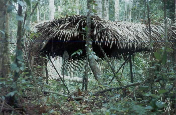 Tapiri no castanhal Tañoapina. Foto: Edmundo Peggion, 1999