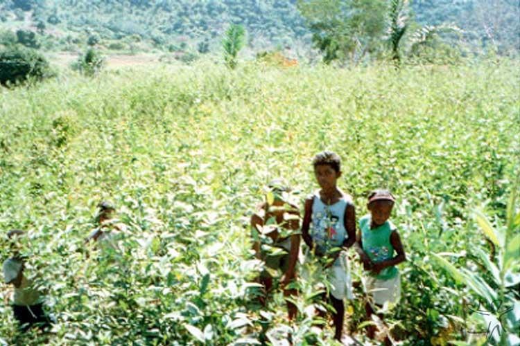 Crianças Pankará na plantação de andu, aldeia Enjeitado. Foto: Caroline Mendonça, 2003.
