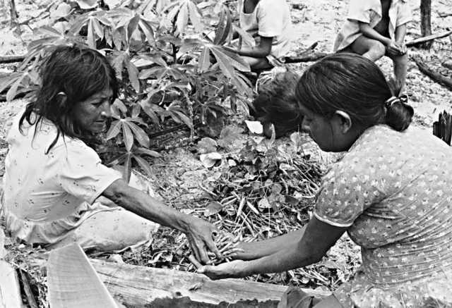 Índias Ingarikó colhendo feijão, Terra Indígena Raposa Serra do Sol, Roraima. Foto: Eliane Motta, 1984
