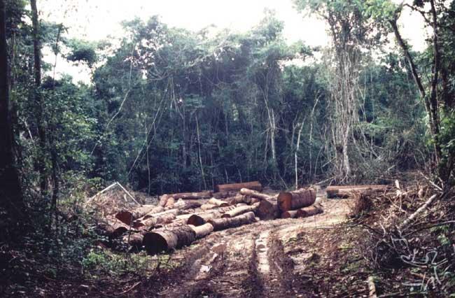 Grande esplanada aberta para depositar madeira furtada ao sul da TI Urueu, sendo 90% mogno, em local próximo a margem do rio Jurupari.Foto: Rogerio Motta, 2002
