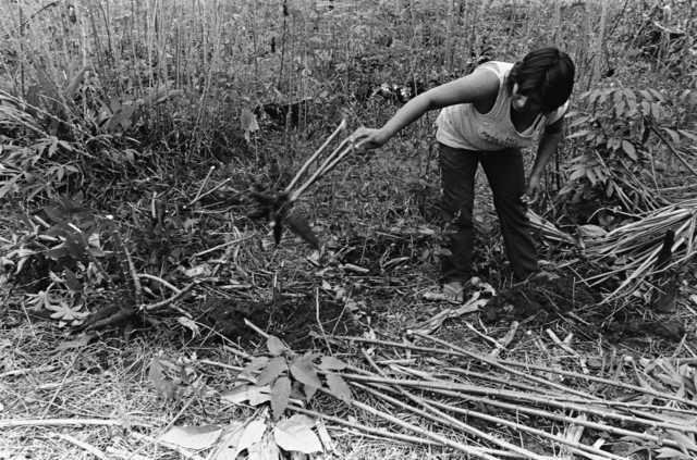 Índia Wapishana colhendo mandioca, Terra Indígena Malacacheta. Foto: Eliane Motta, 1984