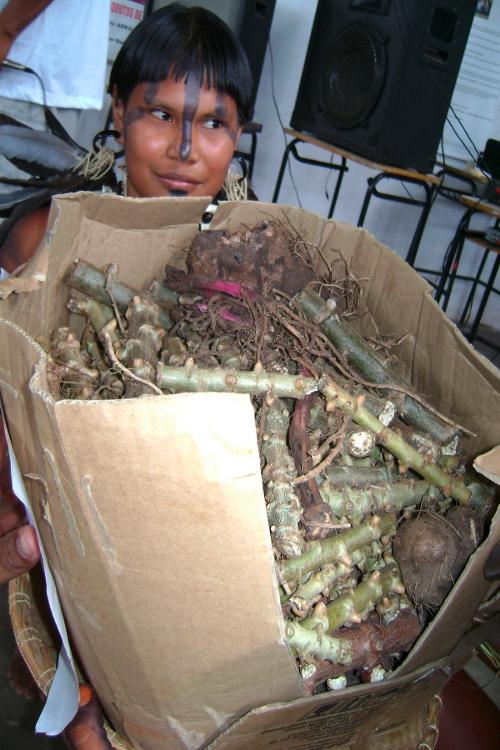 Mudas de mandioca cultivadas pelos Umutina, Terra Indígena Umutina, Barra do Bugres, Mato Grosso. Foto: Associação Indígena Umutina Otoparé (Otoparé), sem data