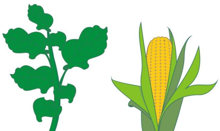 Ilustração de tabaco e milho, plantas cultivadas em quase todo o continente americano à época da chegada dos europeus. Ilustrador 8D - José Vitor Calfa.