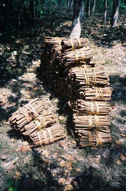 Timbó usado pelos Ikpeng em suas pescarias. Foto: Rosana Gasparini/ISA, 2006.