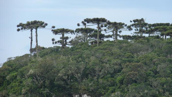 Paisagem da Mata Atlântica na região sul do Brasil, com destaque para o pinheiro-do-paraná. Foto: Silvia Futada, 2009.