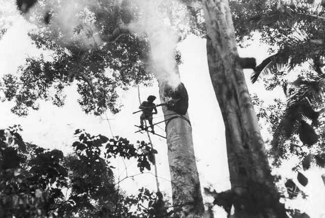 Irawadïdä, homem Araweté, queimando a entrada de uma colmeia de iwahä (mel de xupé) num jatobá. Foto: Eduardo Viveiros de Castro, 1982.