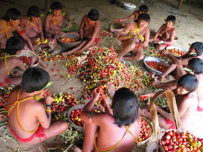 Preparando a pupunha para festa, aldeia Demini, Terra Indígena Yanomami, Amazonas. Foto: Kristian Bengtson, 2003