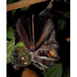 Morcego frugívoro - Indivíduo da aspécie Platyrrhinus lineatus (Phyllostomidae) comendo um fruto de caqui-do-cerrado (Diospyros hispida) Cerca de 50% dos morcegos brasileiros comem frutos, seja como alimento primário ou secundário, sendo também responsáveis pelo início da regeneração das florestas. 2007  / Marco Mello