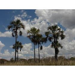 PARNA Grande Sertão Veredas (MG/SC) - Buritizeiros (Mauritia vinifera), palmeira do buriti. Ocorre preferencialmente em áreas alagadas ou brejosas, como beira de rios, igapós e igarapés. Praticamente todas as partes da palmeira tem usos próprios: óleo, fruto, madeira e folhas; muito utilizada pelas comunidades. 20090906  / Silvia Futada