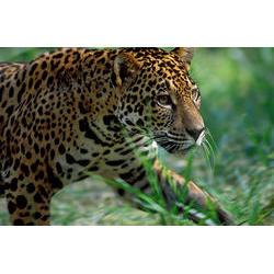 Parque Nacional da Amazônia (AM) - Onça-pintada  / Araquém Alcântara - www.terrabrasilimagens.com.br