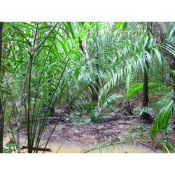 Invasão de Elaies guineensis (dendezeiro) em Área de Preservação Permanente no sul da Bahia.  / Michele Dechoum