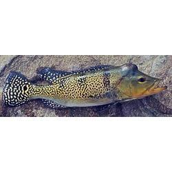 Espécies de tucunaré (Cichla monoculus e Cichla ocellaris), nativas na Bacia Amazônica, são exóticas invasoras que provocam grandes impactos nas comunidades de peixes dos rios em Bacias das regiões Sudeste e Sul do Brasil. Essas espécies são carnívoras e predam muitas espécies nativas, incluindo invertebrados aquáticos e peixes, provocando a redução da biodiversidade local. Sabe-se que Cichla ocellaris, uma das espécies de tucunarés invasores, provocou uma redução de 99% nas populações de peixes no lago Gatún, no canal do Panamá, além de inúmeras extinções (Zaret e Paine, 1973).  / Michele Dechoum