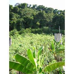 Roça de mata virgem, aberta na floresta densa, na comunidade Baniwa-Kuripako de Ceware, perto de São Gabriel da Cachoeira (TI Alto Rio Negro) 2004  / Ludivine Eloy/ISA