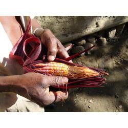 Milho cultivado na comunidade remanescente quilombola de Bombas no município de Iporanga, São Paulo. 2010  / Anna Maria Andrade / ISA